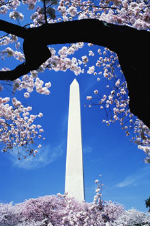 CherryBlossomDC.jpg