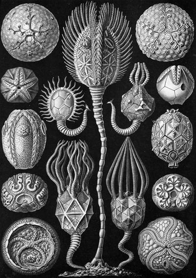 Haeckel_Kunstformen_der_Natur_plate_90.jpg