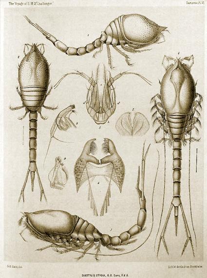 W_Schlachter_Diastylis_stygia_-_Cumacea_1887.jpg